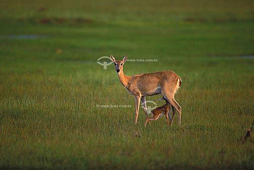 (Ozotocerus bezoarticus) Veado-campeiro com filhote - Pantanal Matogrossense - MT - Brasil  A área é Patrimônio Mundial pela UNESCO desde 2000.  - Mato Grosso - Brasil