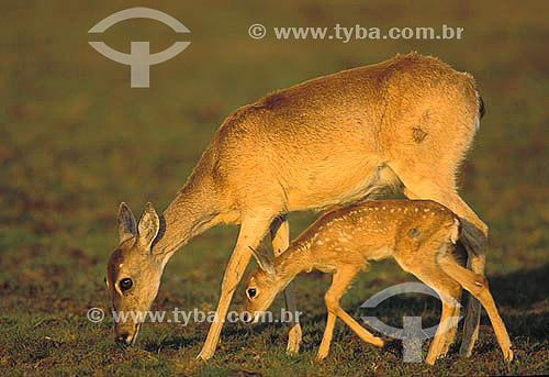 Veado-campeiro (Ozotocerus bezoarticus), fêmea com seu filhote, Pantanal Matogrossense - Mato Grosso  - MT - Brasil / Data: 2006