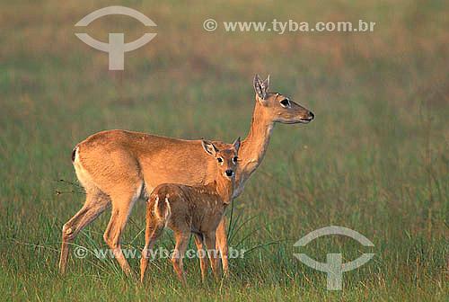 Veado-campeiro (Ozotocerus bezoarticus) fêmea com filhote, Pantanal Matogrossense - Mato Grosso- MT  - Mato Grosso - Brasil