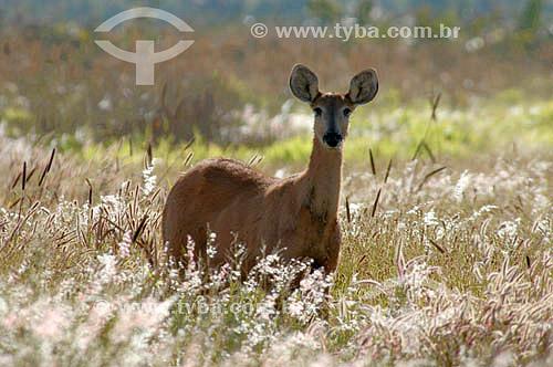 (Blastocerus dichotomus) - Cervo-do-Pantanal - fêmea prenha - Parque Nacional das Emas - Goiás - Brasil. Data: 2005   O Parque é Patrimônio Mundial pela UNESCO desde 16-12-2001