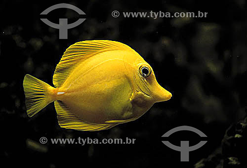 (Zebrasoma flavescens) Yellow-Tang Peixe / Data: 1990