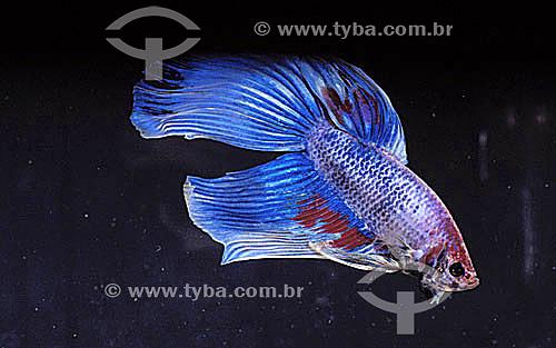 (Betta splendens) Peixe Beta ou Peixe-de-briga