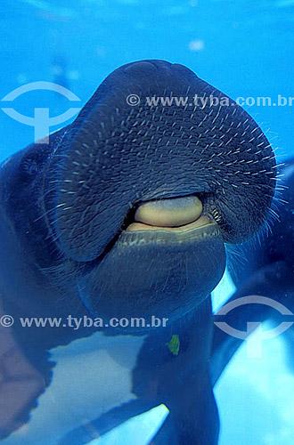 (Trichechus inunguis) Peixe-Boi