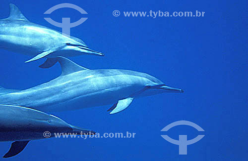 (Stenella Longirostris) - Golfinho-rotator