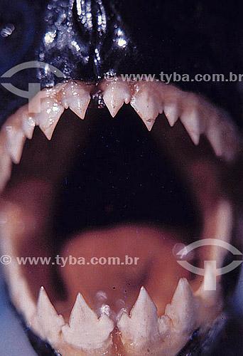 Peixe - dentes de Piranha