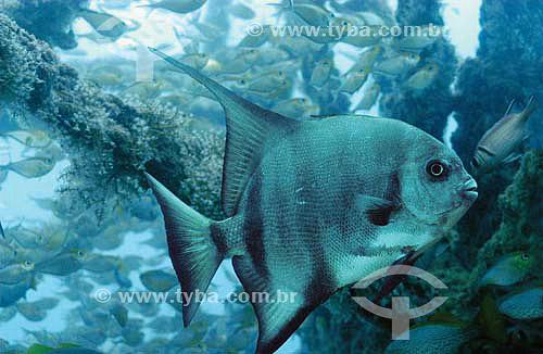 Enxada (Chaetodipterus faber) - Naufragio Vapor de Baixo - Recife - PE - Brasil - dezembro 2006  - Recife - Pernambuco - Brasil