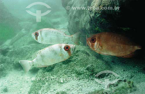 Olho-de-cão (Priacanthus arenatus) - espécie ocorrente em todo o litoral brasileiro - Brasil - dezembro 2006