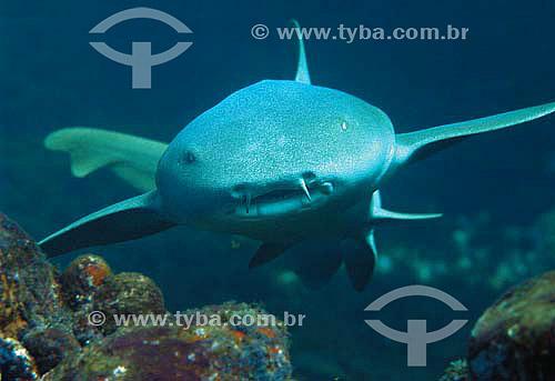 Tubarão Lambaru (Ginglymostoma cirratum) - espécie ocorrente em todo o litoral brasileiro - Brasil - dezembro 2006