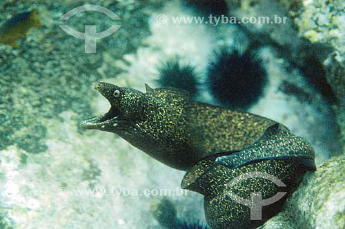 Moréia-pintada (Gymnothorax moringa) - espécie ocorrente em todo o litoral brasileiro - Brasil - dezembro 2006