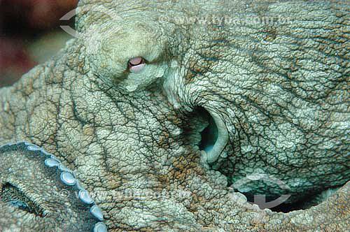 Polvo (Octopus vulgaris) - espécie ocorrente no norte, nordeste e sudeste do litoral brasileiro - Brasil - dezembro 2006