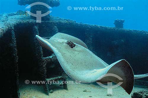 Raia-prego (Dasyatis centroura) - naufragio Servemar 10 - espécie ocorrente em todo o litoral brasileiro - Recife - PE - Brasil - dezembro 2006  - Recife - Pernambuco - Brasil