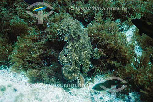 Polvo (Octopus vulgaris) - espécie ocorrente no norte, nordeste e sudeste brasileiro - Brasil - dezembro 2006