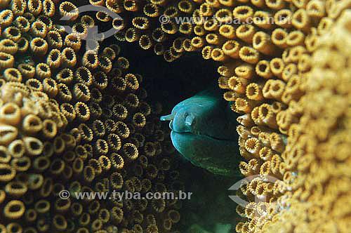 Moréia-amarela (Gymnothorax vicinus) - espécie ocorrente em todo o litoral brasileiro - Brasil - dezembro 2006