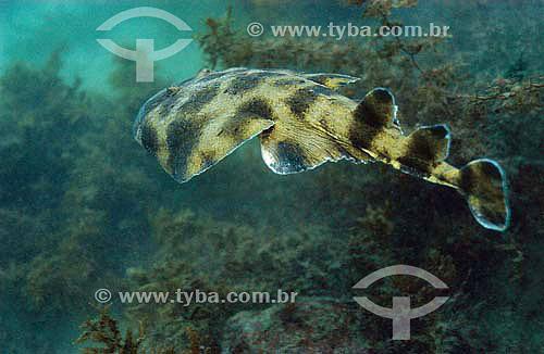 Raia Treme-treme (Narcine brasiliensis) - espécie ocorrente no norte, nordeste e sudeste brasileiro - Brasil - dezembro 2006