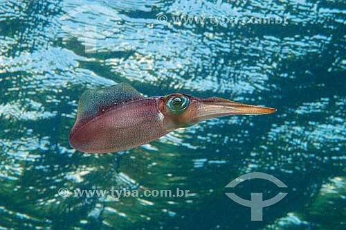 Lula (Loligo forbesi ) - Molusco da classe Cephalopoda - espécie ocorrente no norte, nordeste e sudeste brasileiro - Brasil - dezembro 2006