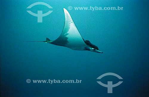 Raia Jamanta (Manta birostris) - espécie ocorrente em todo o litoral brasileiro - Brasil - dezembro 2006