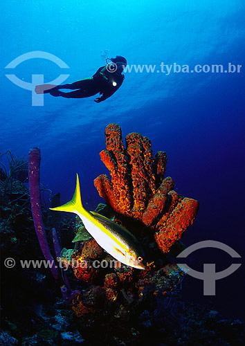 Guaiúba (Ocyurus chrysurus) em frente a enponja tubular - Bonaire
