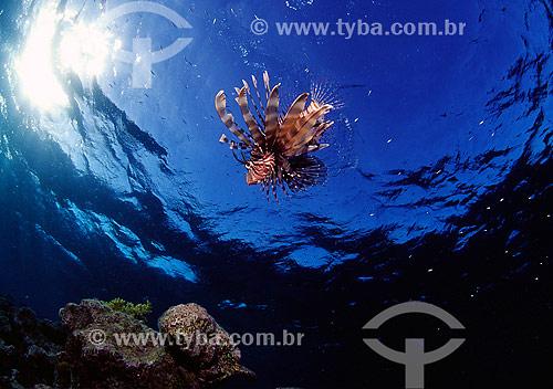 Assunto: Peixe-leão (Pterois miles) no Mar Vermelho / Local: Egito - África / Data: 05/2002