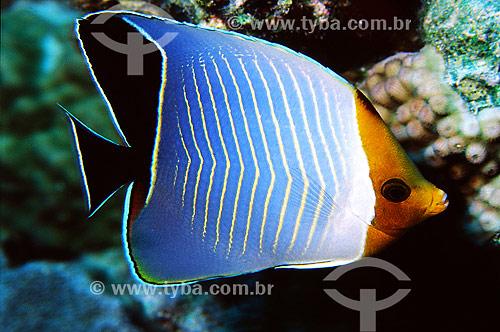 Assunto: Peixe Borboleta do Mar Vermelho (Chaetodon larvatus) / Local: Egito - África / Data: 05/2002
