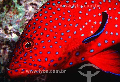 Assunto: Garoupa-estrelada (Cephalopholis miniata) no Mar Vermelho / Local: Egito - África / Data: 05/2002