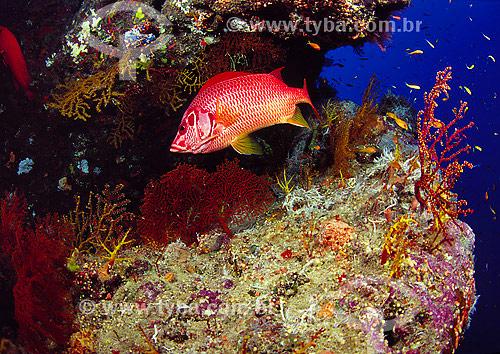 Assunto: Peixe esquilo sabre (sargocentron spiniferum) no Mar Vermelho / Local: Egito - África / Data: 05/2002