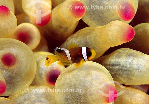 Assunto: Peixe-palhaço (Amphiprion bicinctus) no Mar Vermelho / Local: Egito - África / Data: 05/2002