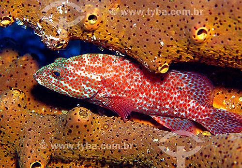 Garoupa (Epinephelus guttatus) e esponja (Angelas conifera) - Bonaire