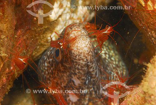Moréia com Camarões Limpadores (Lysmata amboinensis) - Cabo Frio - RJ - Brasil - 2006  - Cabo Frio - Rio de Janeiro - Brasil
