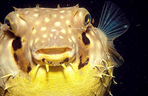 (Chilomycterus schoepfi) Baiacu-de-espinho