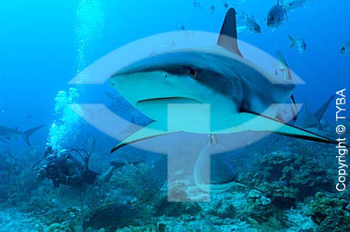 Tubarões no Mar do Caribe - Ilhas de Utila e Roatam - Honduras (Bay Islands) - junho/2004