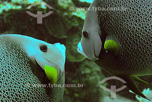 Peixes  no Mar do Caribe - Ilhas de Utila e Roatam - Honduras (Bay Islands) - junho/2004