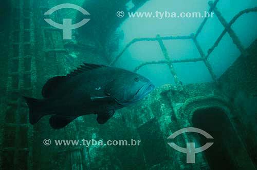 Cherne-negro (Epinephelus nigritus) - naufrágio CT Paraíba - Rio de Janeiro - RJ - Brasil - dezembro 2006               - Rio de Janeiro - Rio de Janeiro - Brasil