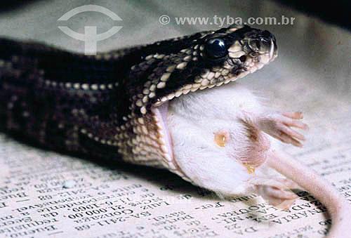 (Bothrops jararaca) Cobra Jararaca - Instituto Butantan - São Paulo - Brasil  - São Paulo - São Paulo - Brasil