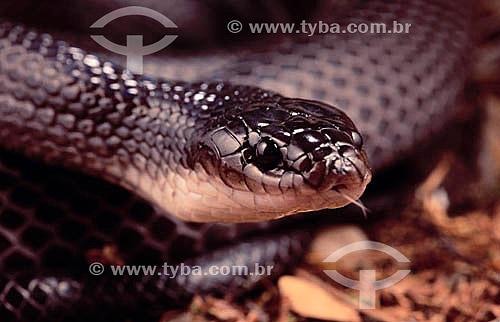(Pseudoboa cloelia) Cobra Muçurana - Caatinga - Brasil