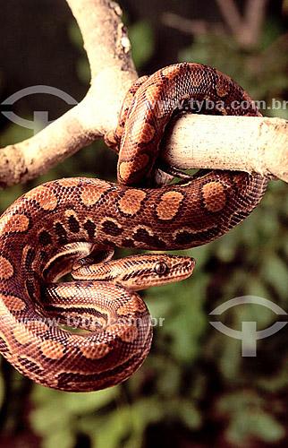 (Epicrates cenchria cenchria) Salamanta - Brasil