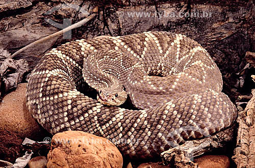(Crotalus durissus) Cobra Cascavel, também conhecida como boicininga, boiçununga, boiquira, cascavel-de-quatro-ventas, maracá e maracabóia - Região do Cerrado - Brasil