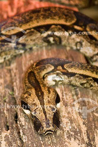 Cobra Jibóia (Boa constrictor) no Parque das Aves - Foz do Iguaçu - PR - Brasil  - Foz do Iguaçu - Paraná - Brasil