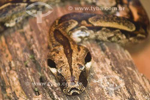 Cobra Jibóia ( Boa constrictor) no Parque das Aves - Foz do Iguaçu - PR - Brasil  - Foz do Iguaçu - Paraná - Brasil