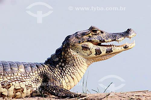 (Caiman crocodilus yacare) - Jacaré - PARNA do Pantanal Matogrossense - MT - Brasil  A área é Patrimônio Mundial pela UNESCO desde 2000.  - Mato Grosso - Brasil