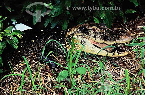 (Melanosuchus niger) Jacaré Açú - Reserva Mamirauá - Amazonas - Brasil  - Tefé - Amazonas - Brasil