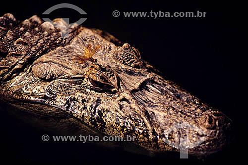 (Caiman latirostris) Jacaré do Papo-Amarelo - Brasil