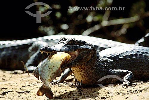 (Caiman crocodylus yacare) Jacaré comendo peixe - PARNA do Pantanal Matogrossense - MT - Brasil  A área é Patrimônio Mundial pela UNESCO desde 2000.  - Mato Grosso - Brasil