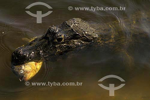 Jacaré-do-pantanal (caiman crocodilus yacare) - também conhecido como Jacaré-do-paraguai - comendo piranha no Parque Nacional do Pantanal Matogrossense  - Mato Grosso (MT) - Brasil
