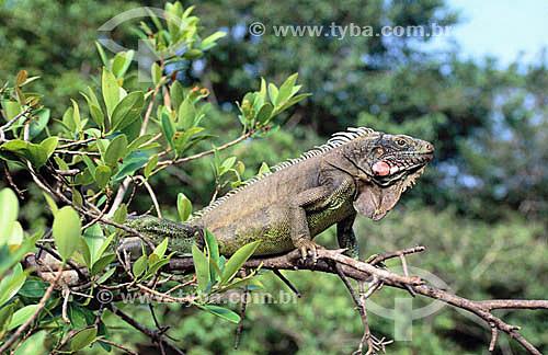 (Iguana Iguana) Iguana - Amazônia - Brasil