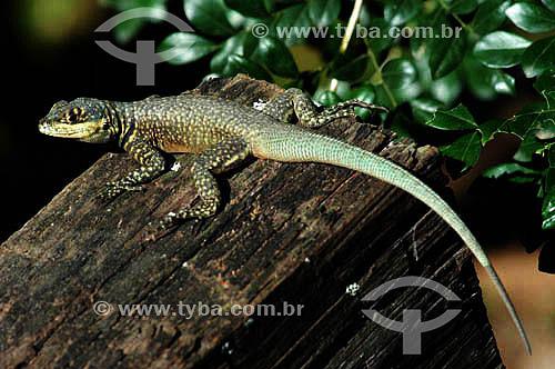Calango - lagarto - Mata Atlântica - Brasil