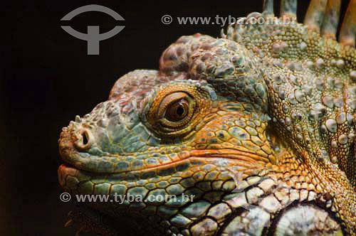 Iguana ( Iguana iguana) no Parque das Aves - Foz do Iguaçu - PR - Brasil  - Foz do Iguaçu - Paraná - Brasil