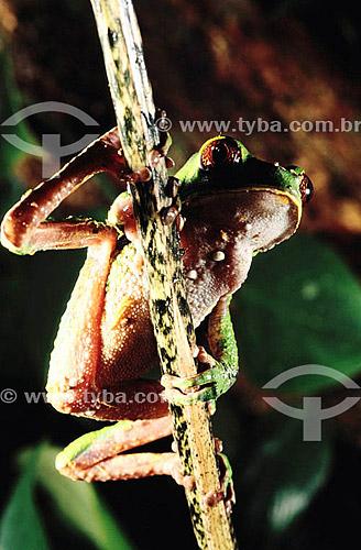 (Phylomedusa bicolor) - Perereca - Amazônia - Brasil