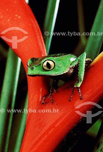 (Phyllomedusa vaillanti) - Perereca - Amazônia - Brasil