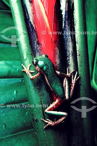 (Phyllomedusa tomopterna) - Perereca - Amazônia - Brasil
