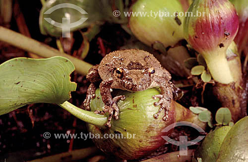 (Scinax acuminata) (Fam. Hylidae) Rã